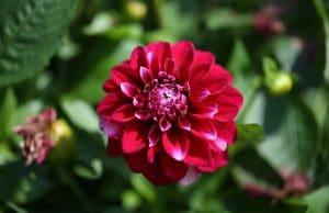 Dahlie Zwiebelblumen