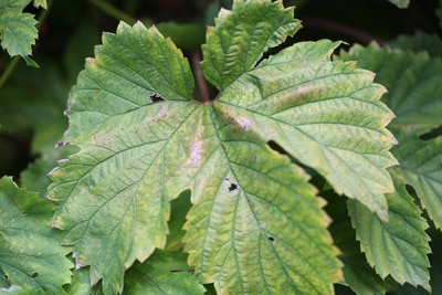 Humulus krank