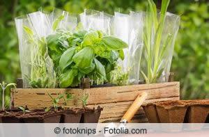 junge Kräuterpflanzen