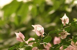 Blüten der Bougainvillea