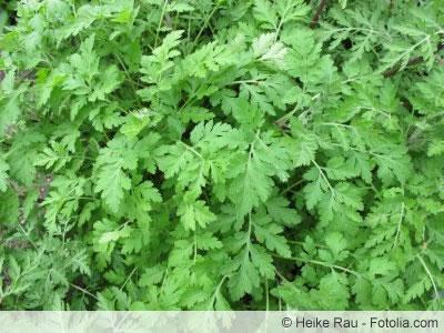 Blätter des Mutterkrauts