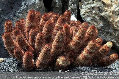 Warzenkaktus, Mammillaria elongata