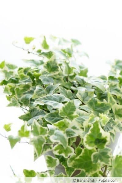 Hedera helix als Zimmerpflanze