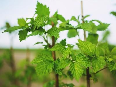 Himbeerenpflanze