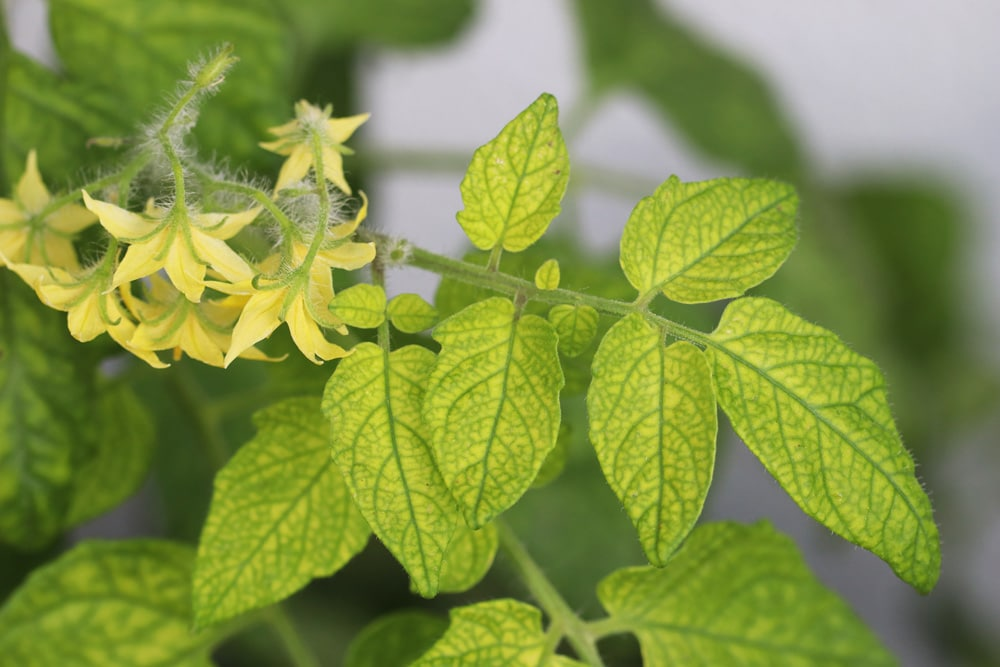 gelbe bl tter bei tomaten ursachen und l sungen