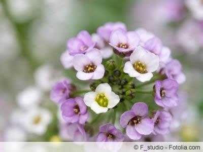 duftsteinrich blüte