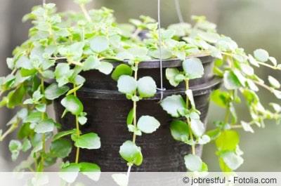 Golliwoog-Pflanze