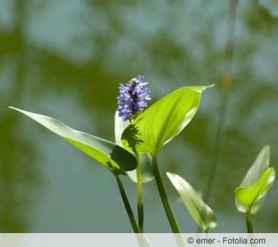 blühende Wasserpflanzen