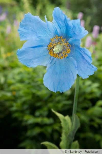 Blauer Mohn Blüte