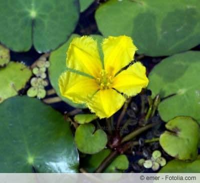 Blüte der Seekanne