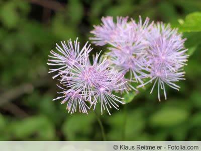 Thalictrum Blüte