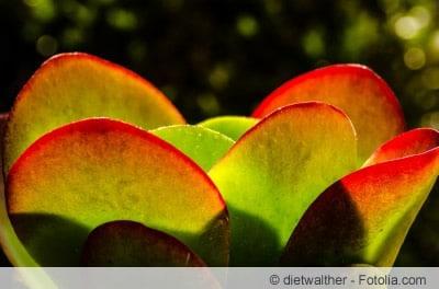 Kalanchoë thyrsiflora