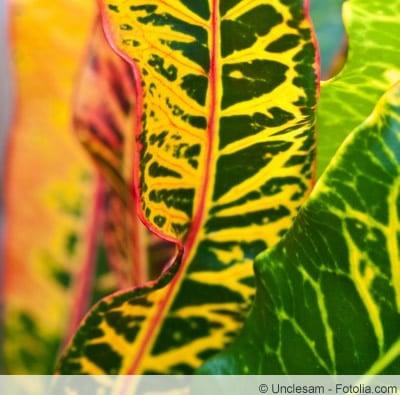 Blatt von Croton