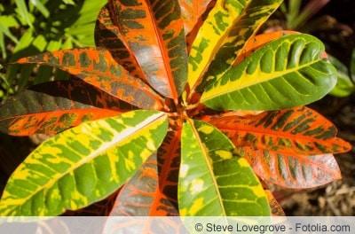 Wunderstrauch Blätter