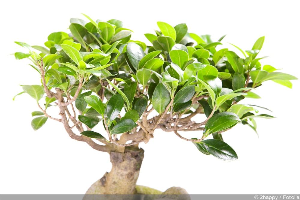 mit großen Blättern; braucht wenig Licht ! das ist ein Ficus der besonderen Art