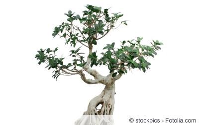 ficus microcarpa ginseng Pflanze