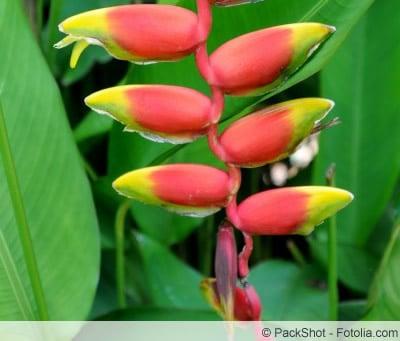 Blüte der Helikonie