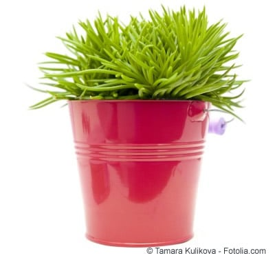 senecio greiskraut Pflanze