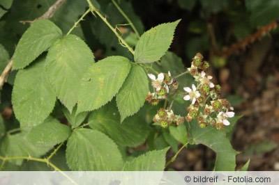 wilde Brombeeren mit Blüte