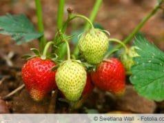 Junge Erdbeerpflanzen mit Erdbeeren