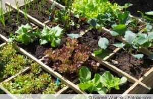 Salat und Endividen