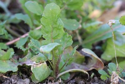 Salatsorten, Rucola, Gemüse-Mischkultur