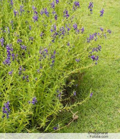 Angelonia angustifolia purple