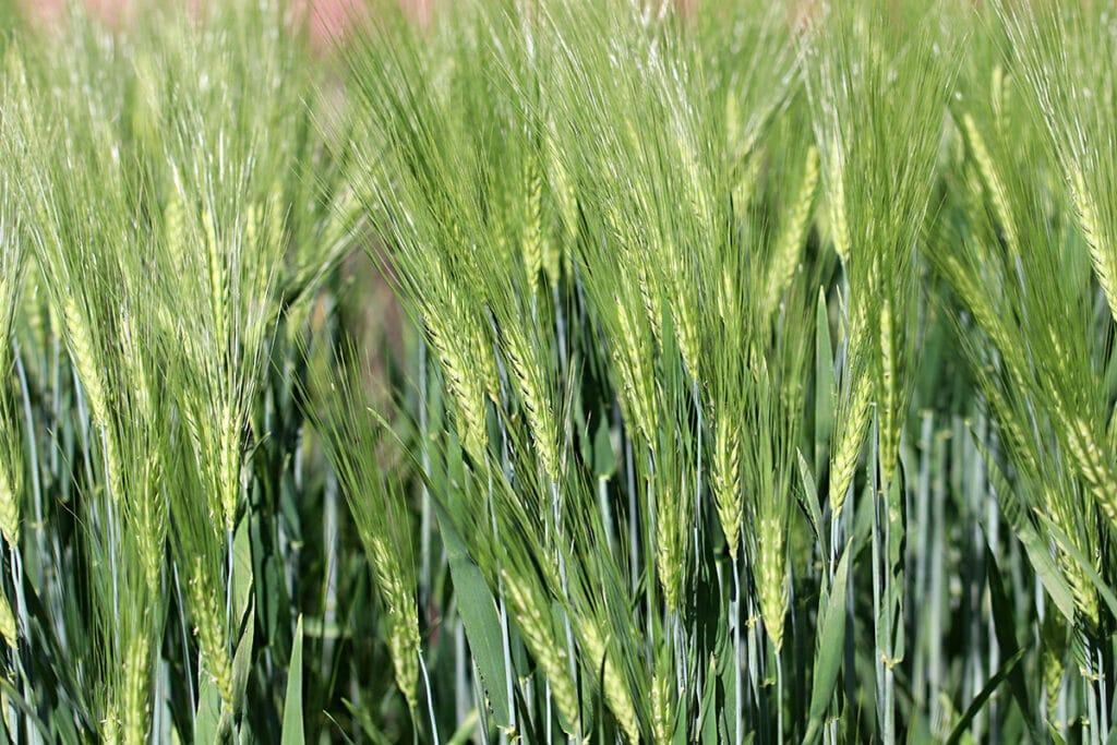 Gerste (Hordeum vulgare), Getreidearten