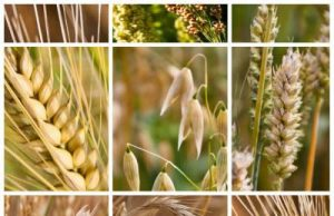 Getreidesorten in Deutschland