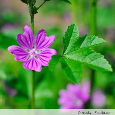 Blüte der Malva sylvestris
