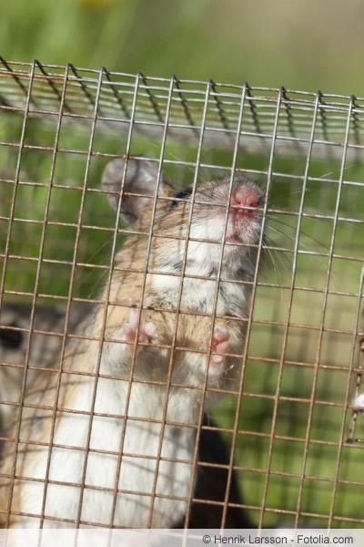 Ratte im Käfig