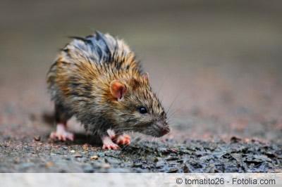 Ratte auf Straße