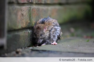 Auf Dich Du Ratte