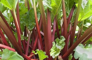 Rhabarber Gemüse