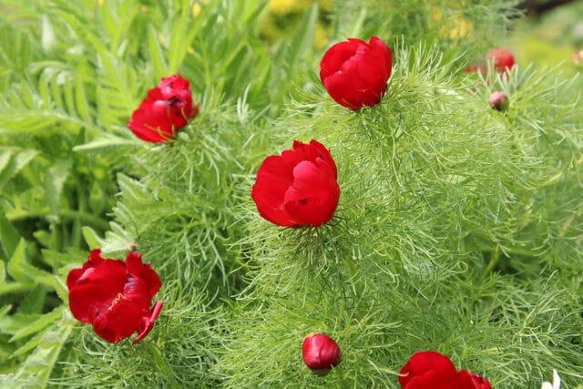 Paeonia tenuifolia, Netzblatt-Pfingstrose