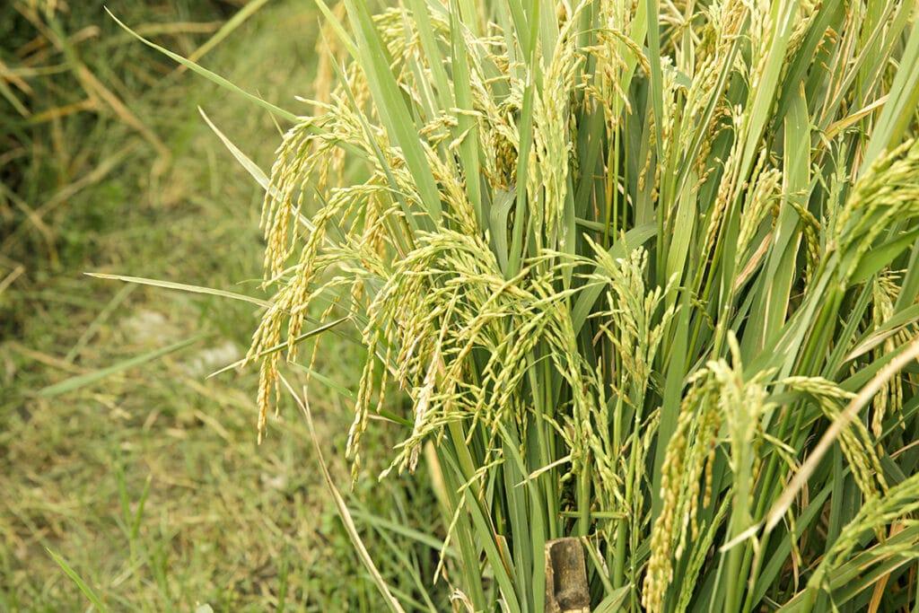Reis, Getreidearten