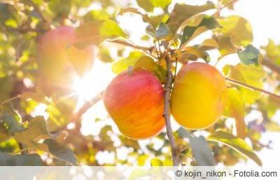 Gala Royal am Apfelbaum