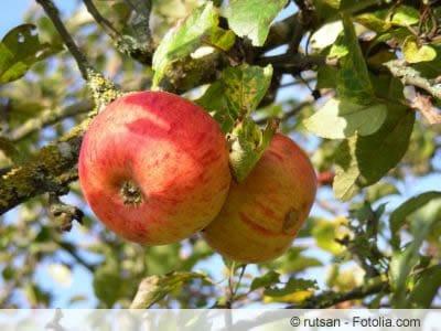Goldparmäne Apfel am Baum