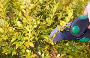 Buchsbaum mit braunen Blättern