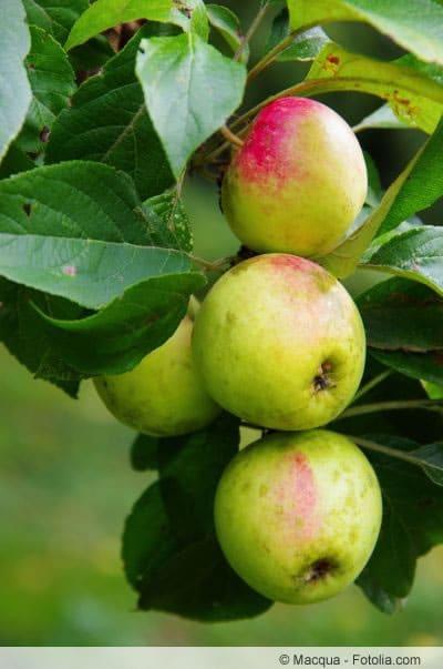 Pinova am Apfelbaum