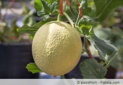 Anbau der Zuckermelone