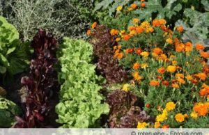 Mischkultur im Gemüsegarten