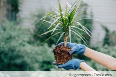 Palme umpflanzen