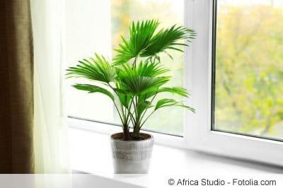 Palme am Fenster