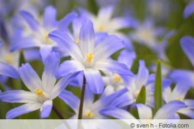 Chionodoxa Blüten