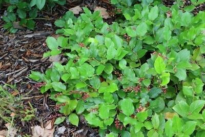 Gaultheria procumbens Scheinbeere