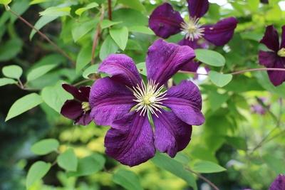 violette Waldrebe Blüte