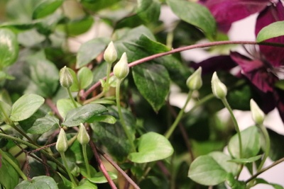 Clematis neue Blüten