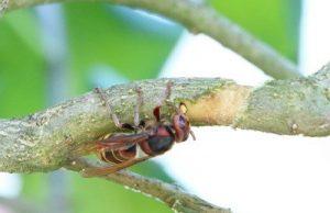 Hornisse am Baum