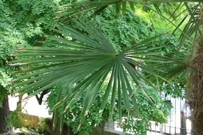 Hanfpalme mit braunen Blattspitzen